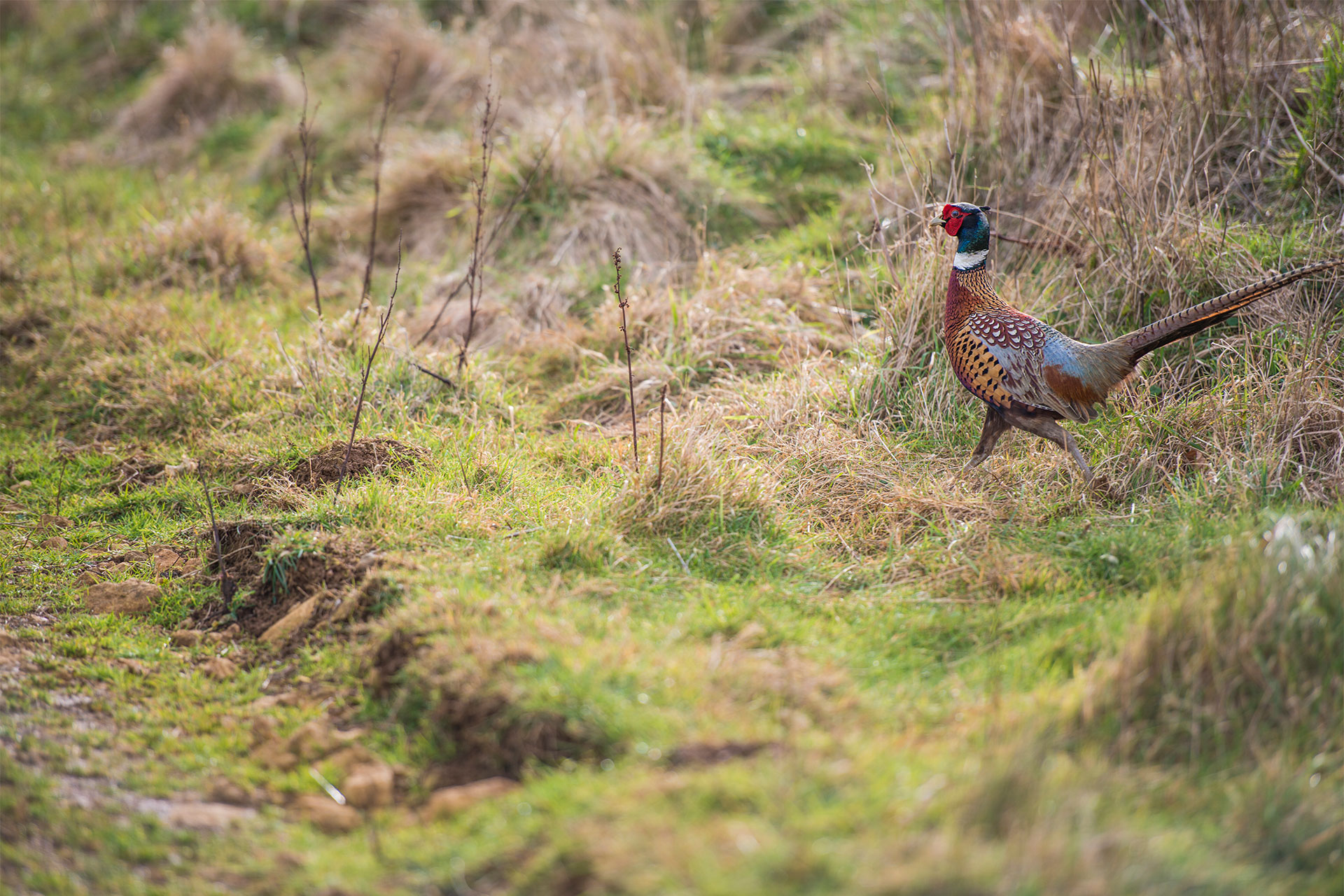HOME-PHEASANT-IN-FIELD